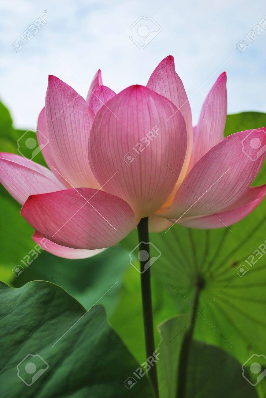 Perfect lotus flower in full bloom symbolizing religion buddhism perfect lotus flower in full bloom symbolizing religion buddhism purity serenity izmirmasajfo