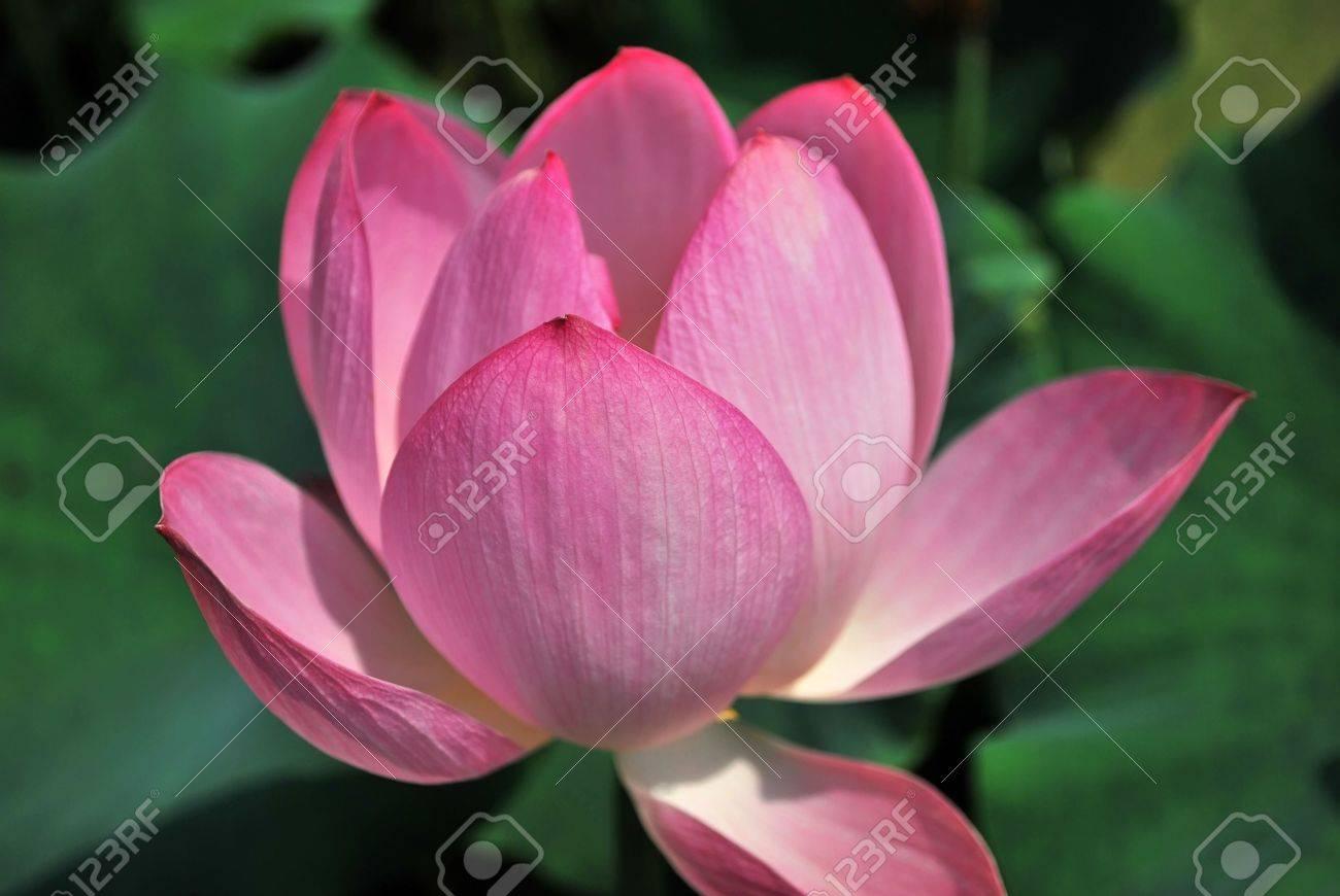 Lotus flower in full bloom during summer symbolizing religion lotus flower in full bloom during summer symbolizing religion buddhism purity serenity mightylinksfo