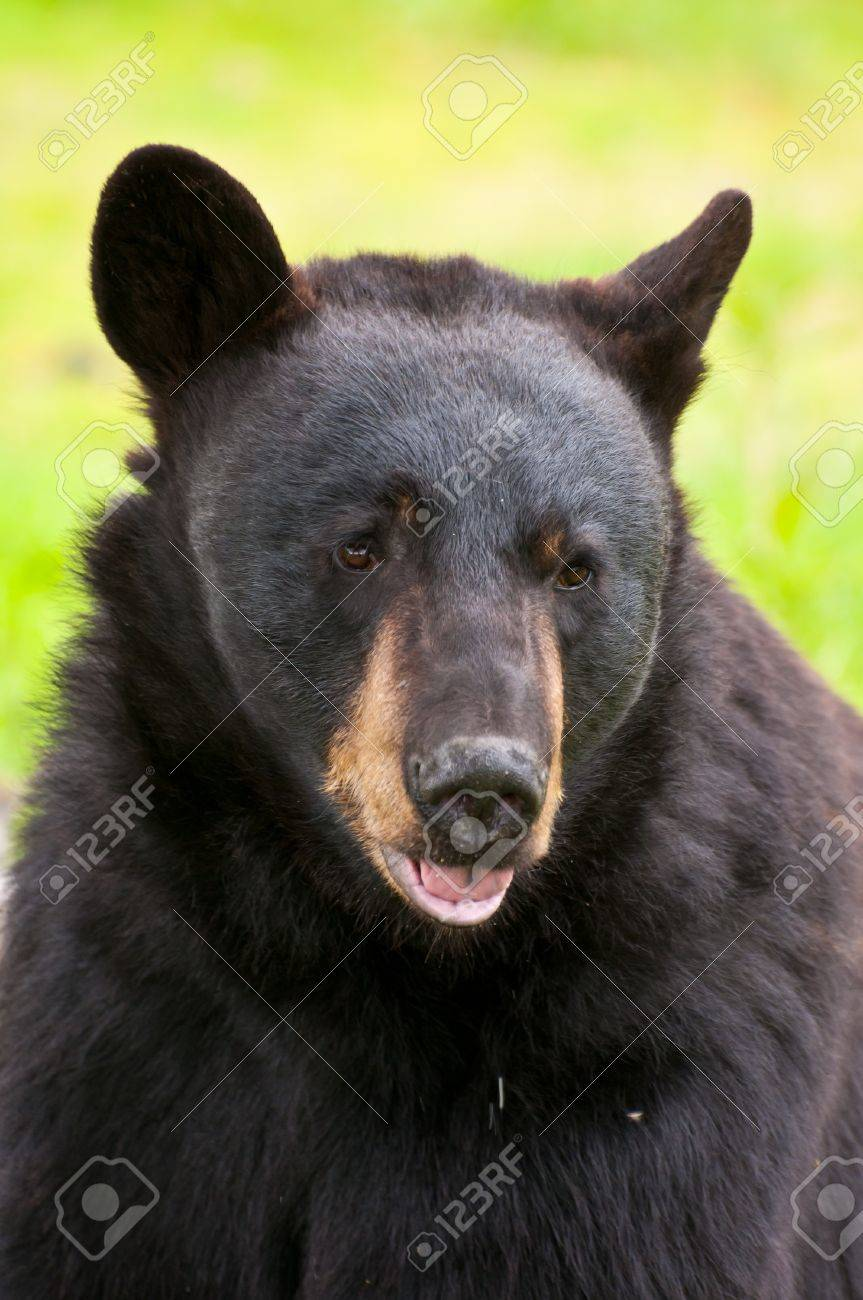 Portrait shot of black bear with mouth open. Stock Photo - 10685330