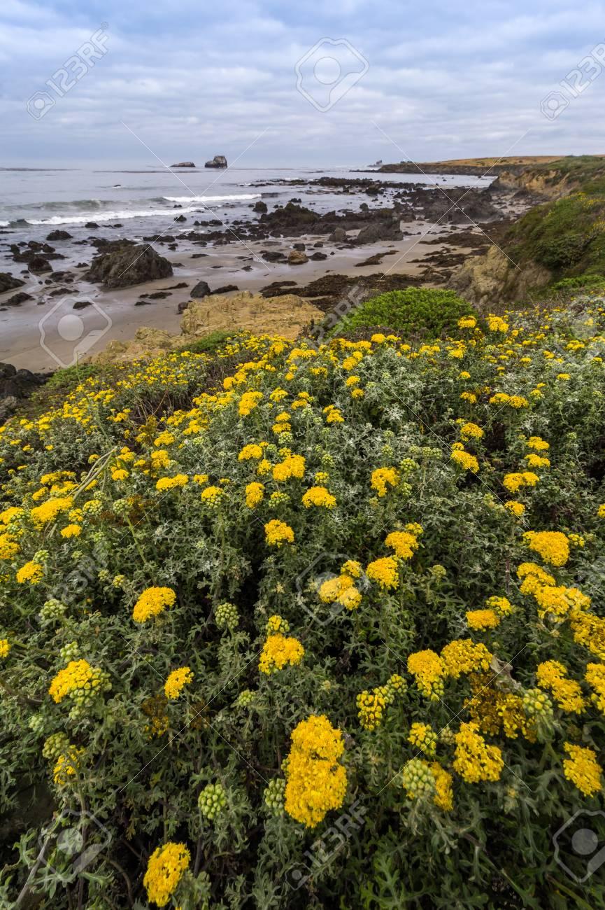 Beautiful Yellow Flowers Blooming Along Western Coast Of California