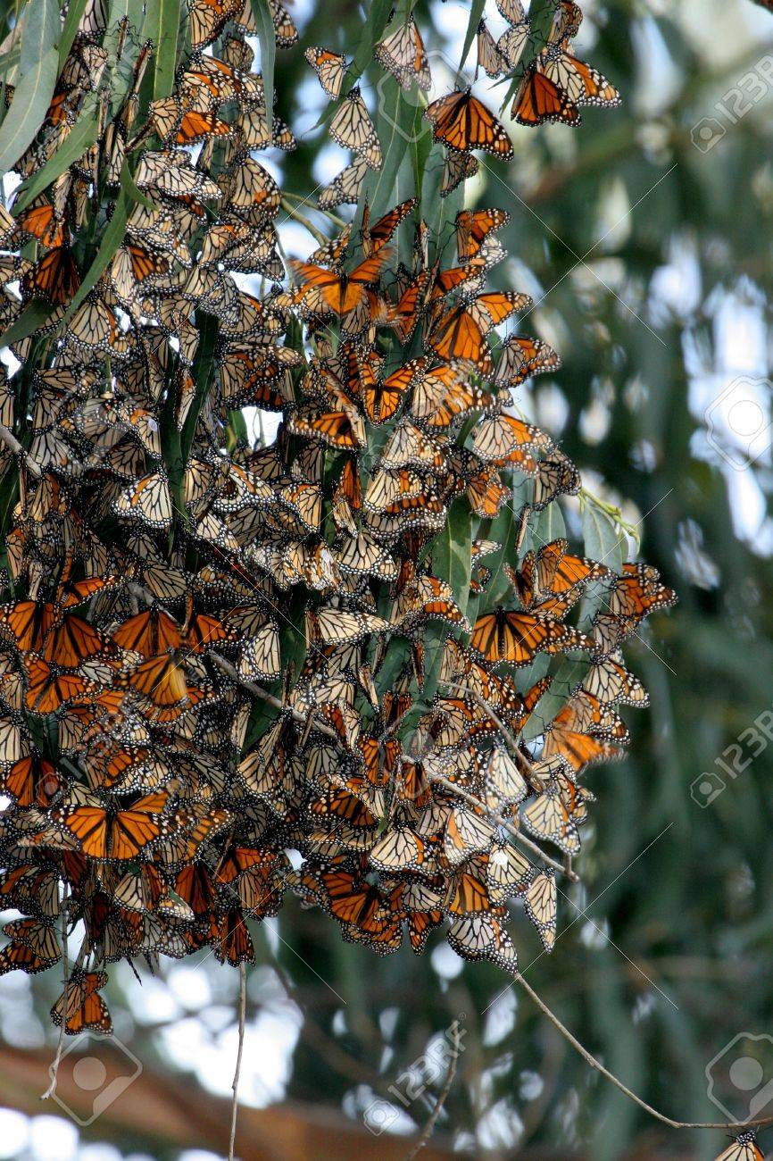 Monarch Butterflies gather in large groups during migration to the central coast near Pismo Beach trees provide a tranquil area for the beautiful orange and black dotted with white insect to develop into the next stage of life Stock Photo - 2257059