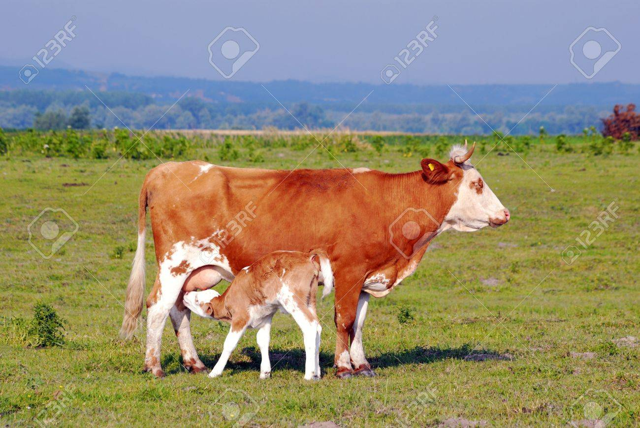 calf feeding with milk from cow
