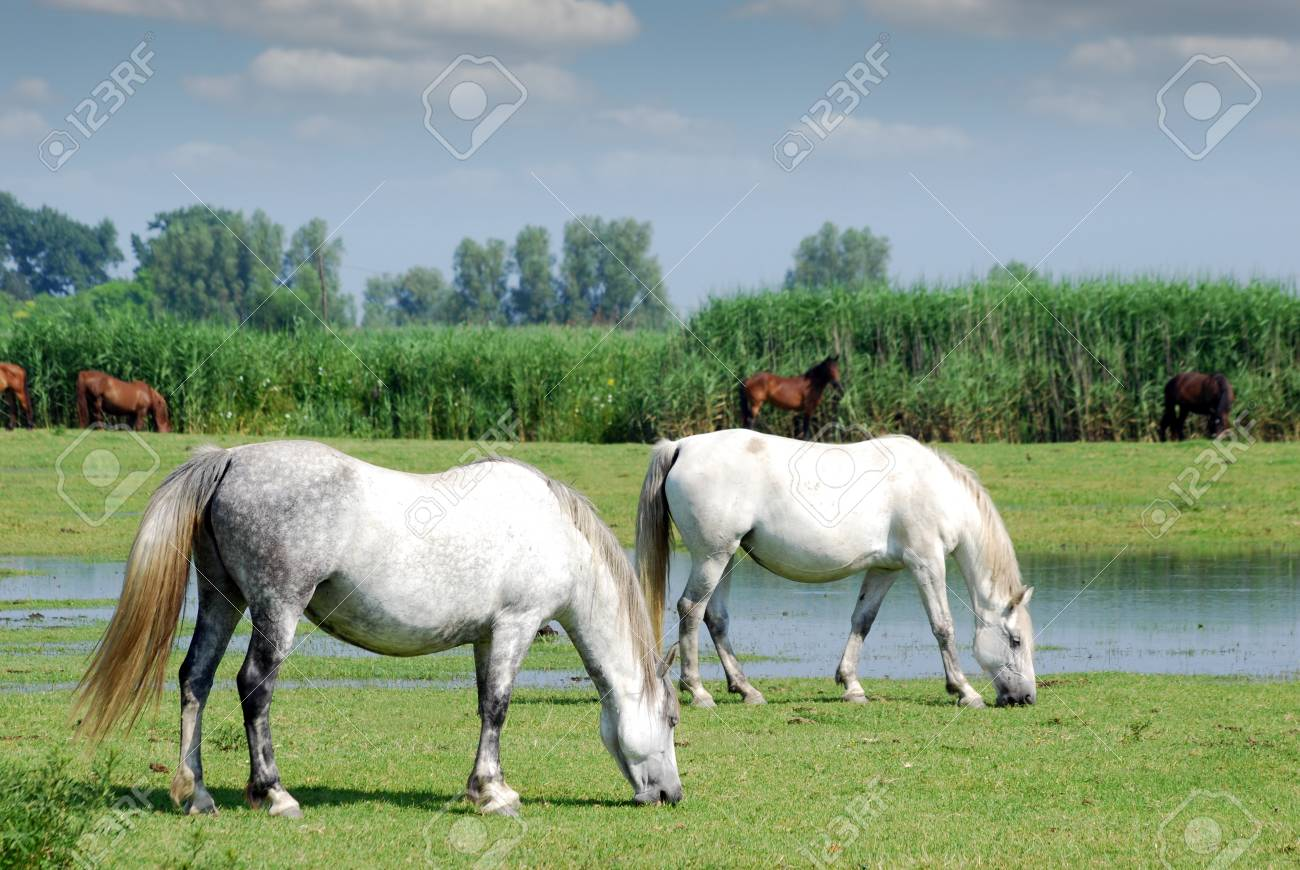 White Horses On Pasture Farm Scene Stock Photo Picture And Royalty Free Image Image 23219591