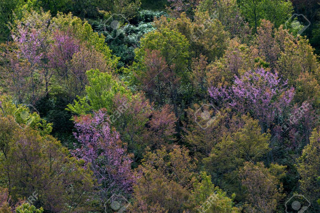 A Colorful Deciduous Forest In Autumn With Multicolored Pink.. Stock ...