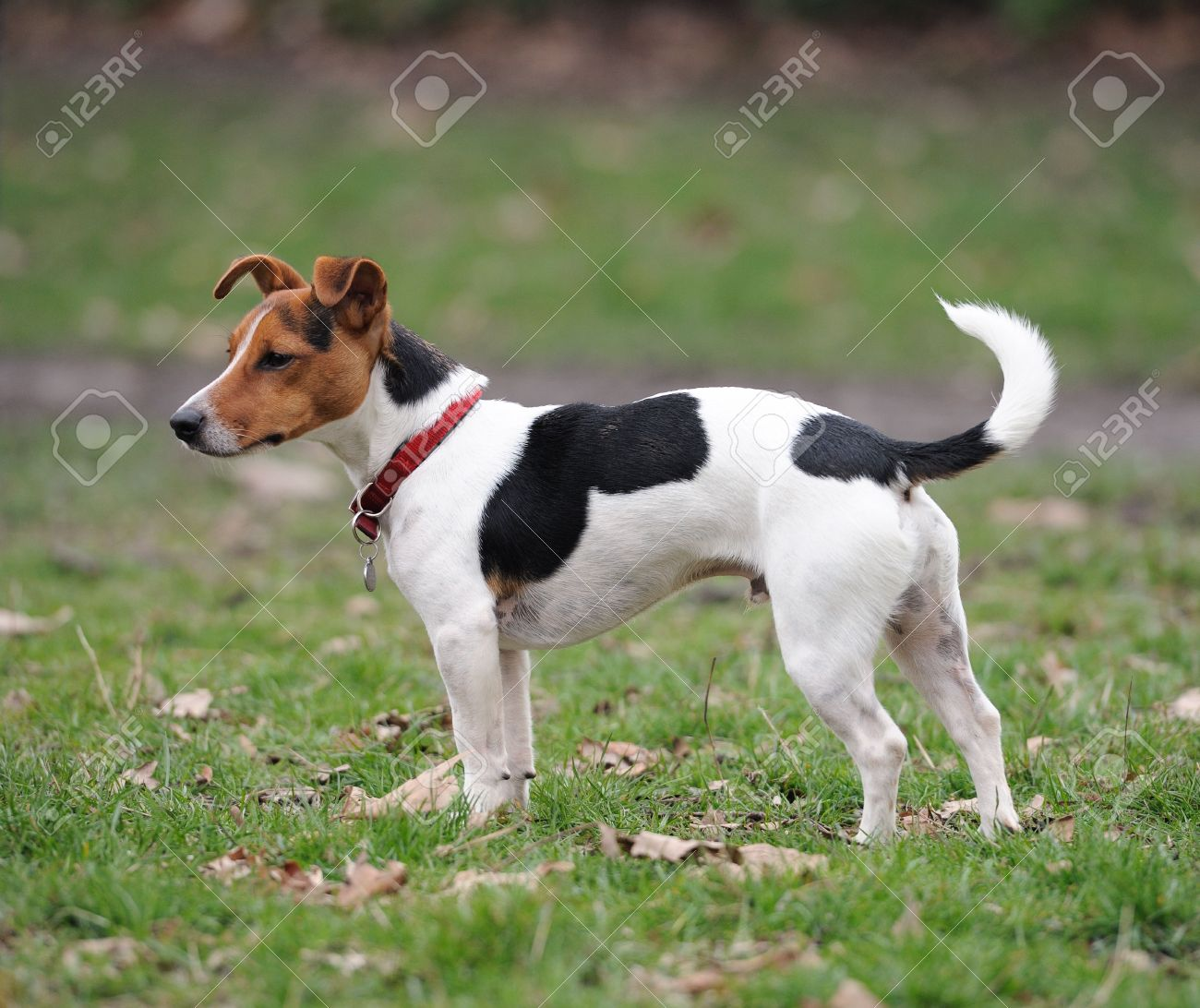 one year old jack russell terrier standing in a park stock photo