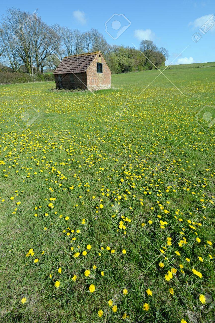 English field covered in dandelions on a sunny day with an outhouse in the background Stock Photo - 6874137