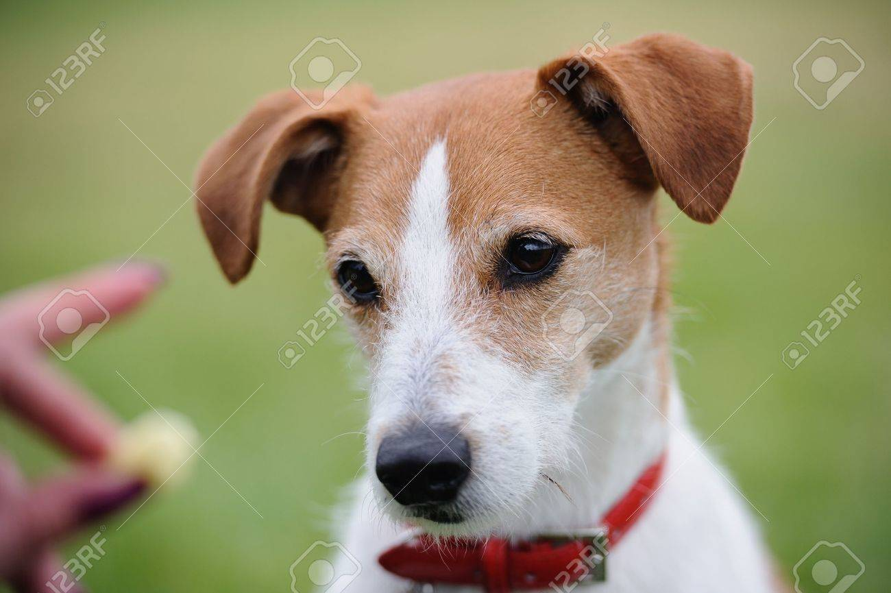 Portrait Of A Parson Jack Russell Terrier Transfixed By The ...