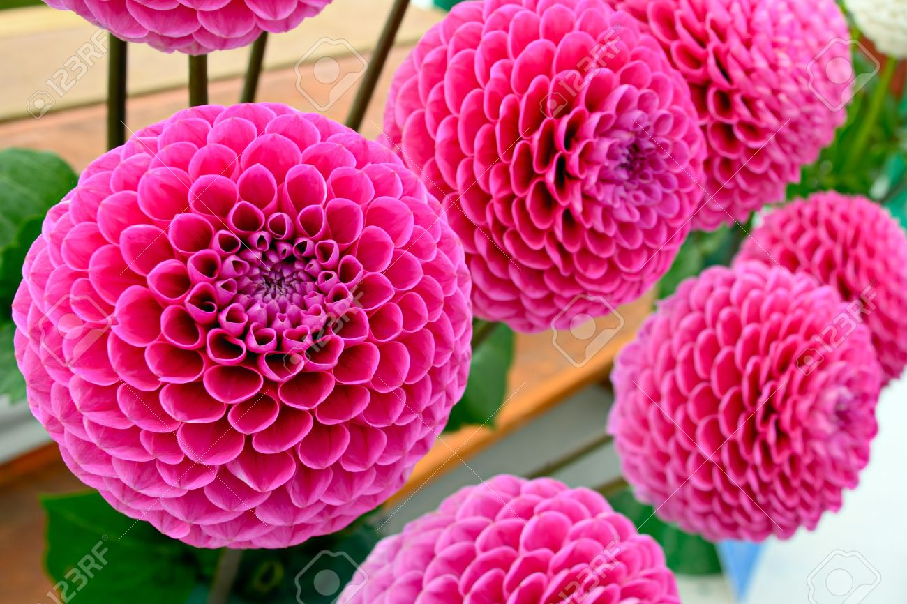 Large Lilac Pink Pompom Dahlias Stock Photo Picture And Royalty