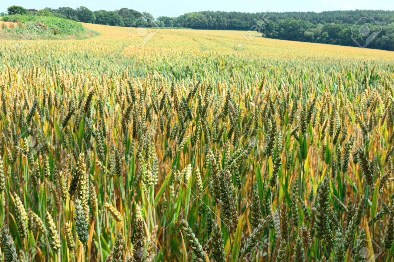 Field of ripening ears of wheat Stock Photo - 9938303