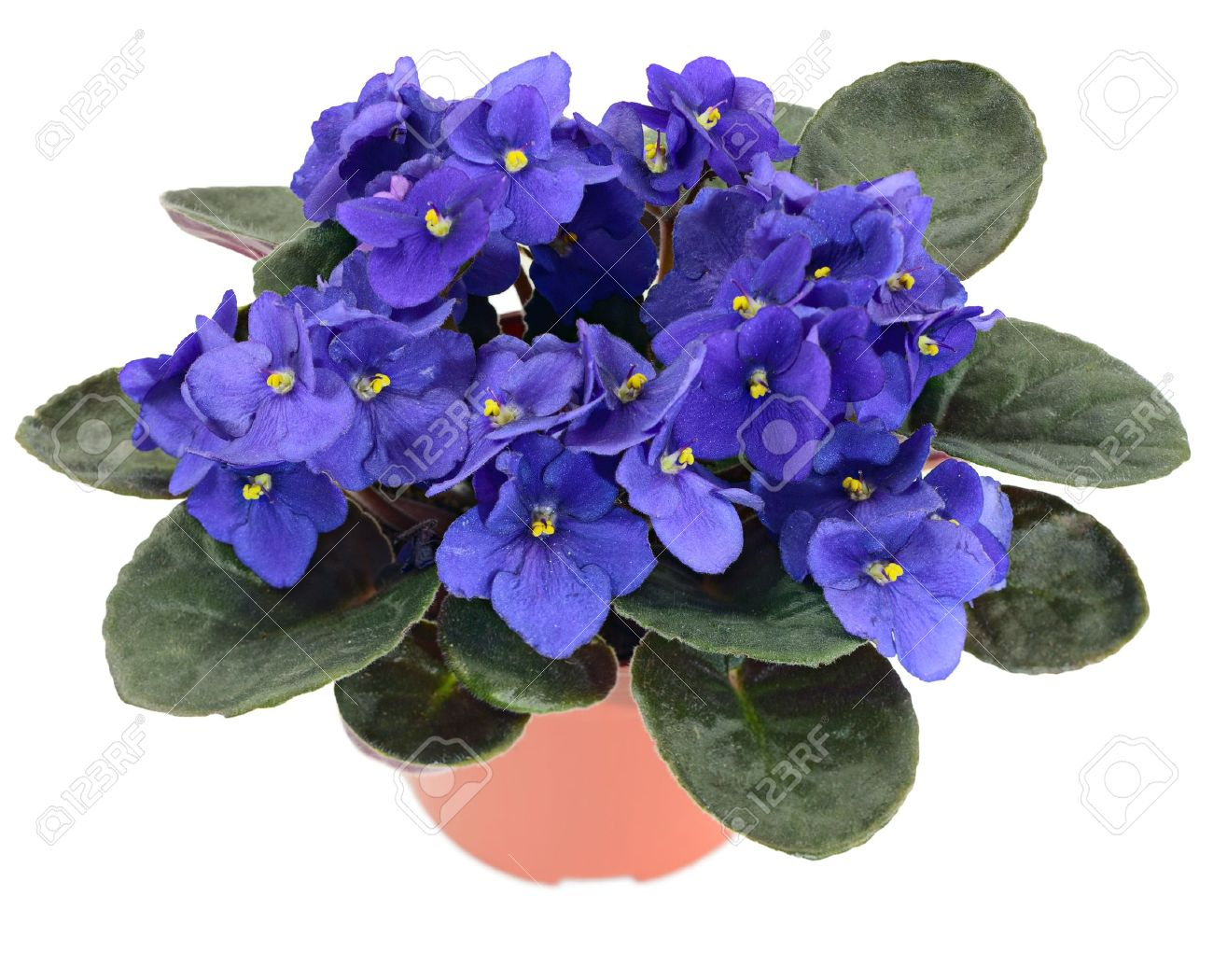 African Violet: Potted African Violet (saintpaulia Ionantha) Isolated On  White Background Stock Photo
