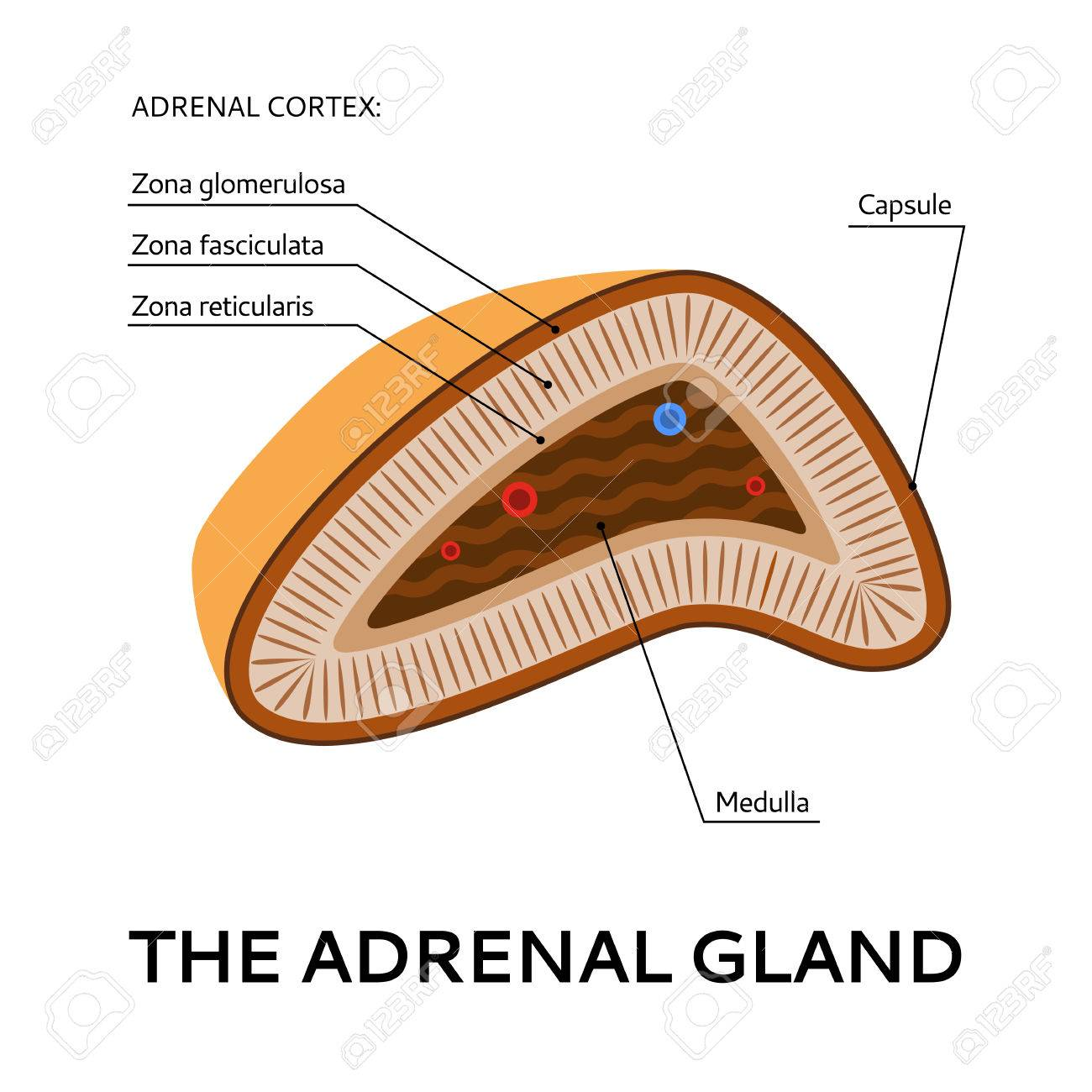 The Adrenal Gland Medical Scheme From The Point Of View Vector
