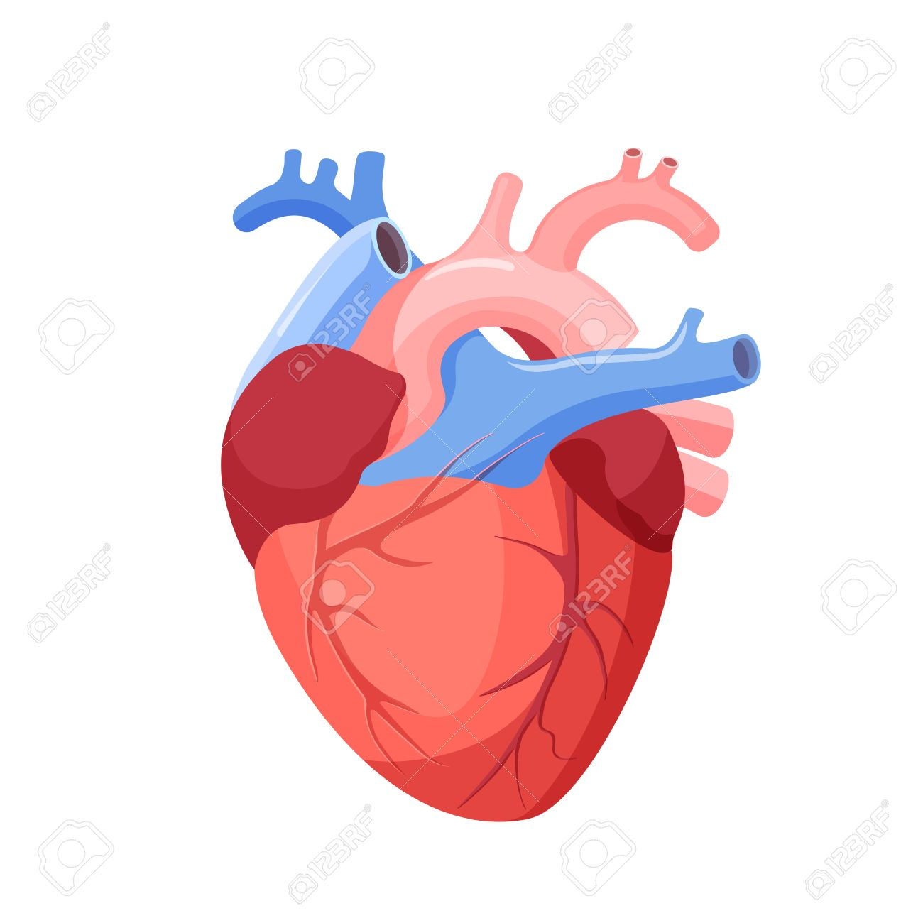 Anatomical heart isolated. Muscular organ in humans and animals, which pumps blood through blood vessels of circulatory system. Heart diagnostic center sign. Human heart cartoon design. Vector - 68502513