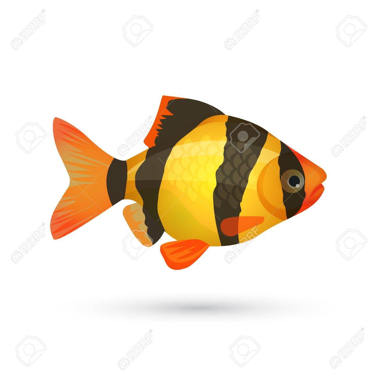 Clown Loach Tiger Aquarium Fish Isolated On White Botia Catfish