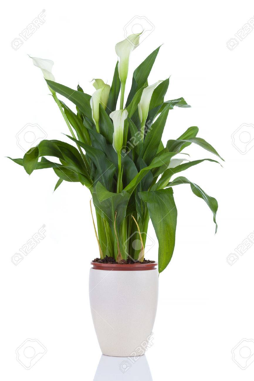 Calla Lily In A Pot Isolated On White Stock Photo Picture And