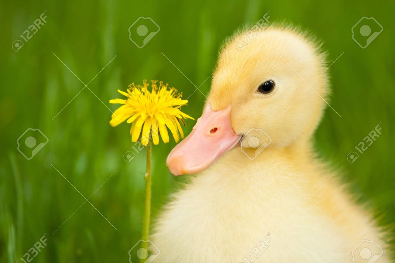 Little yellow duckling with dandelion on green grass - 9798932