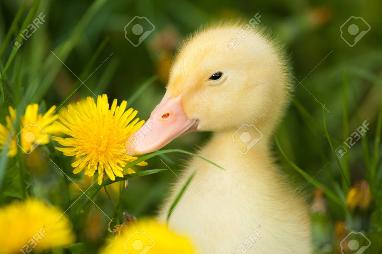 Small yellow duckling outdoor on green grass Stock Photo - 10566833