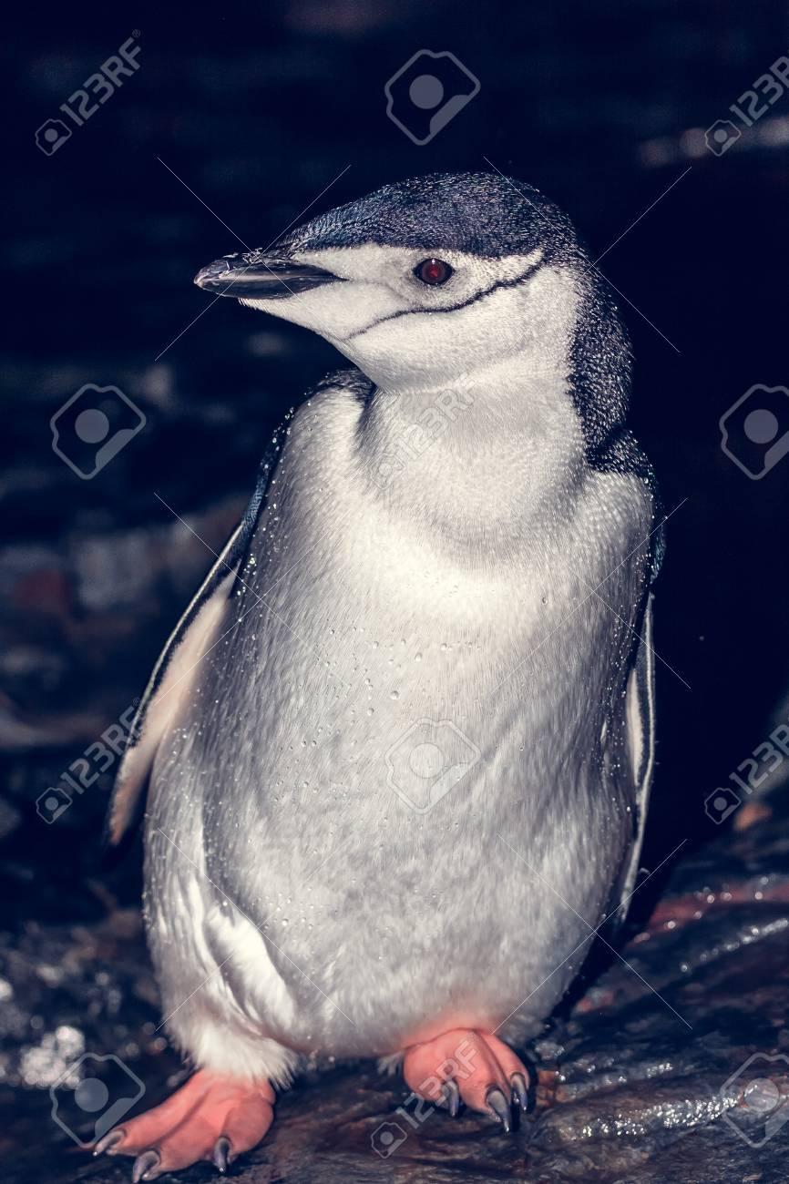 岩の上の黒と白のペンギン。南極...
