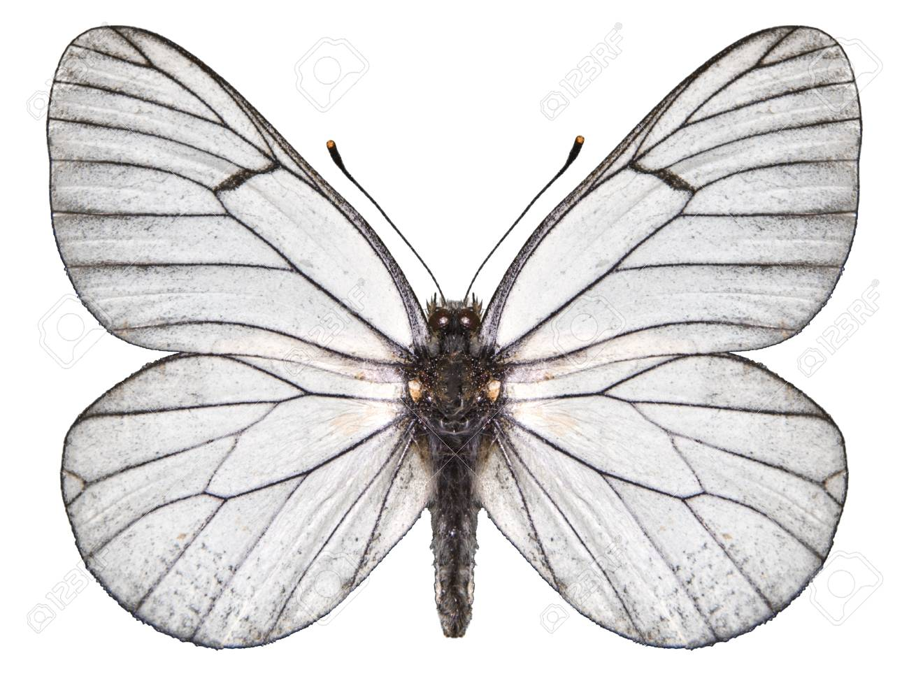 butterfly white Stock Photo - 9788292
