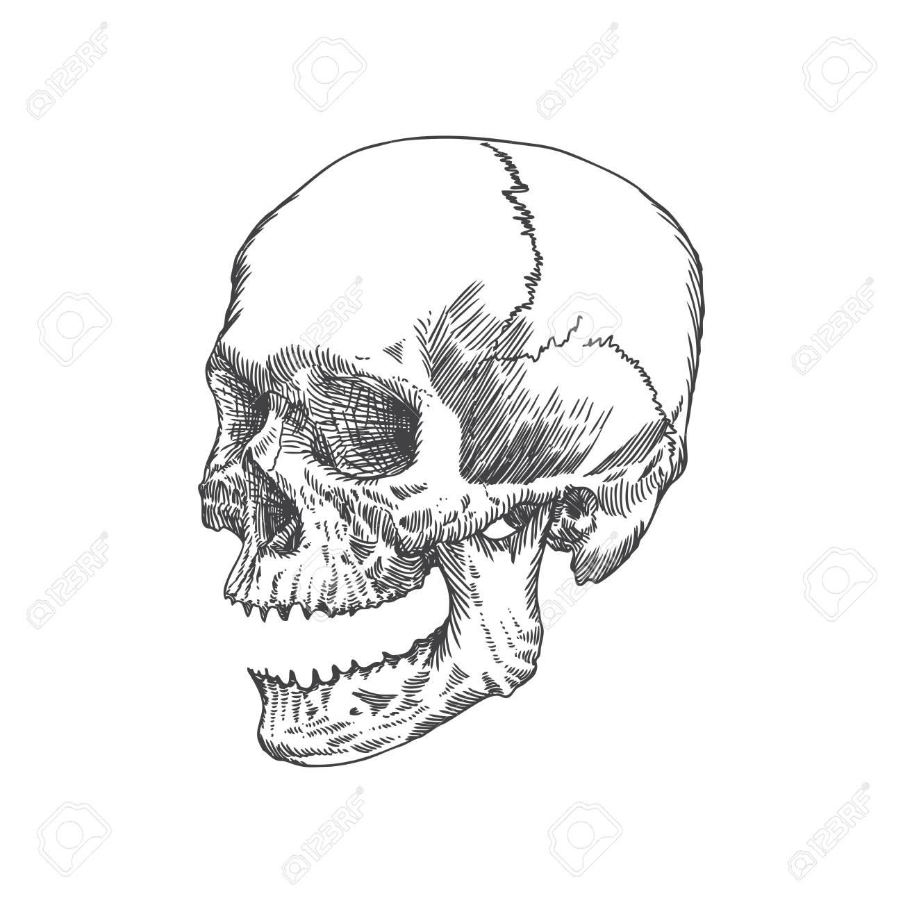 Anatomische Schädel Mit Offenem Mund Oder Kiefer, Verwitterte Und ...