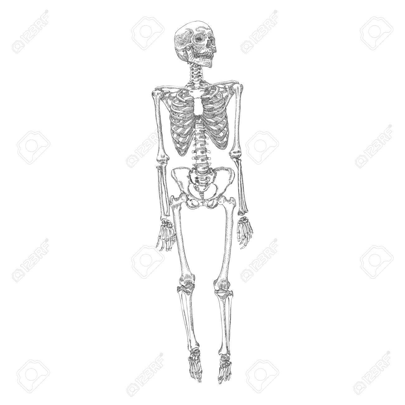 Esqueleto De Huesos Humanos De Pie Dibujo. Con Brazos, Piernas ...