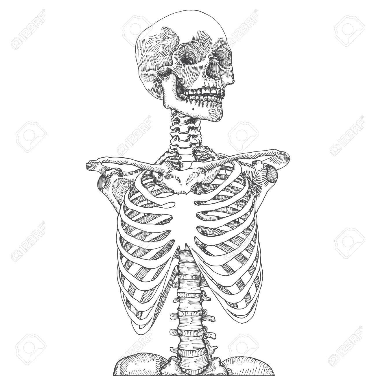 Hand Anatomischen Medizinischen Menschlichen Brustkorbs Mit Dem ...