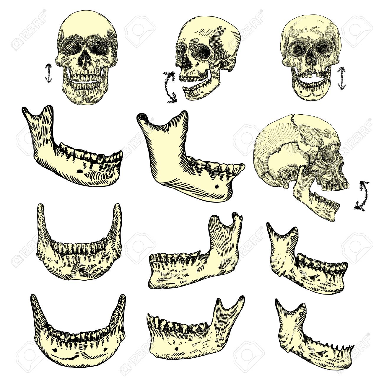 70461519 human skull bones drawing set creation set skull and lower jaw moving up and down skulls from differ human skull bones drawing set creation set skull and lower jaw