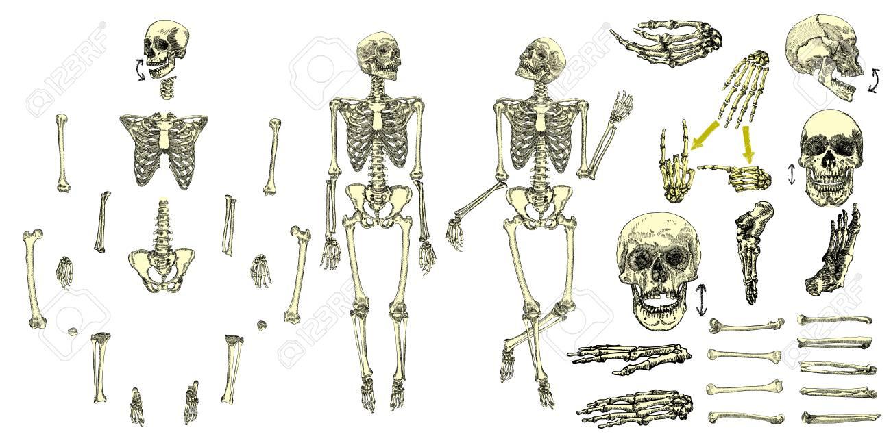 Esqueleto De Huesos Humanos Conjunto De Colección De Dibujo ...