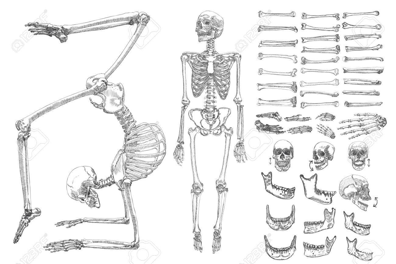 Human Anatomy Drawing Monochrome Set With Skeletons And Single ...