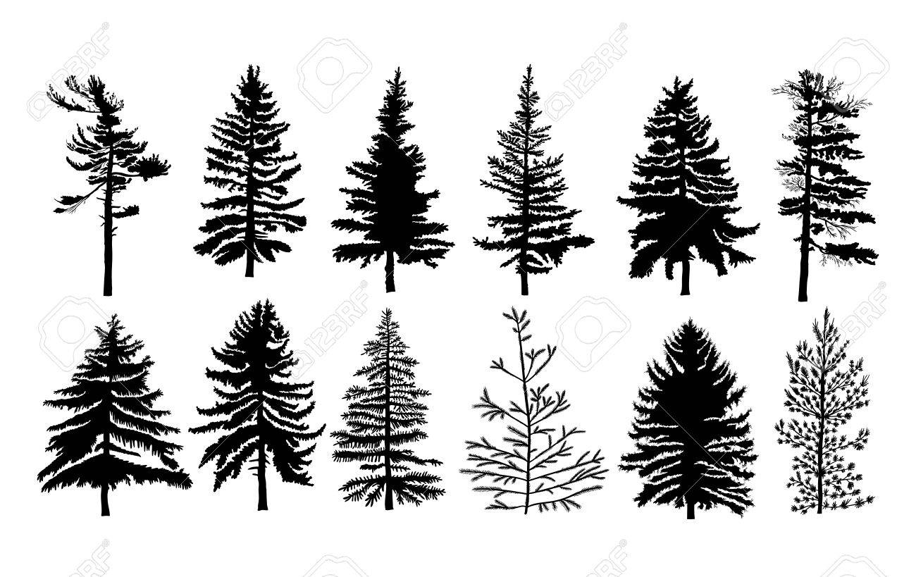 Vector Set Silhouette Of Different Canadian Pine Trees Conifer Royalty Free Cliparts Vectors And Stock Illustration Image 74302962