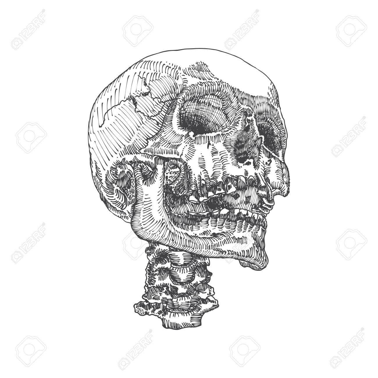 Dorable Diagramas Cráneo Componente - Anatomía de Las Imágenesdel ...