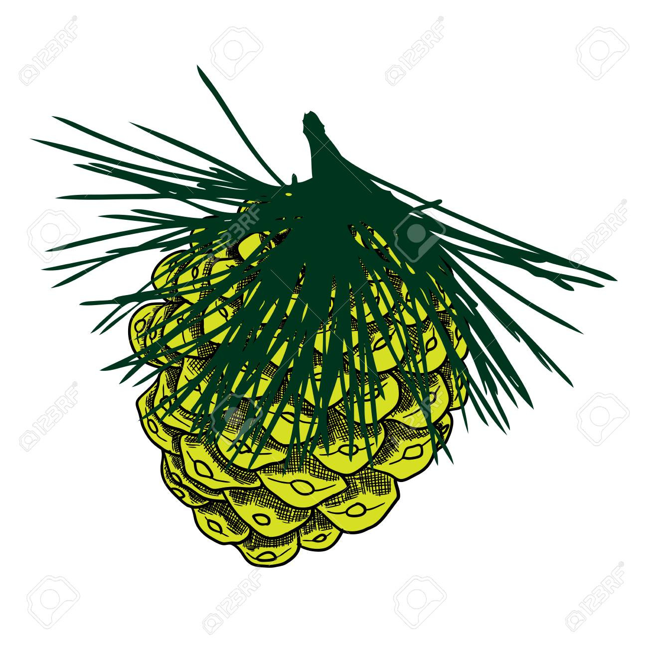 Conifer Cone On Pine Tree Branches, Pine Cone, Hand Drawing In ...