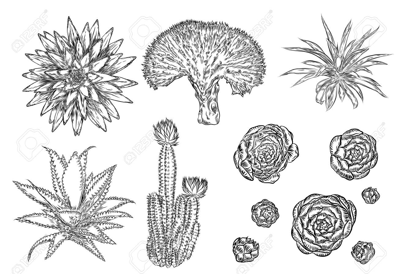 Drawing Cactus Set Succulent Bouquets Elements For Invitations Royalty Free Cliparts Vectors And Stock Illustration Image 98311956