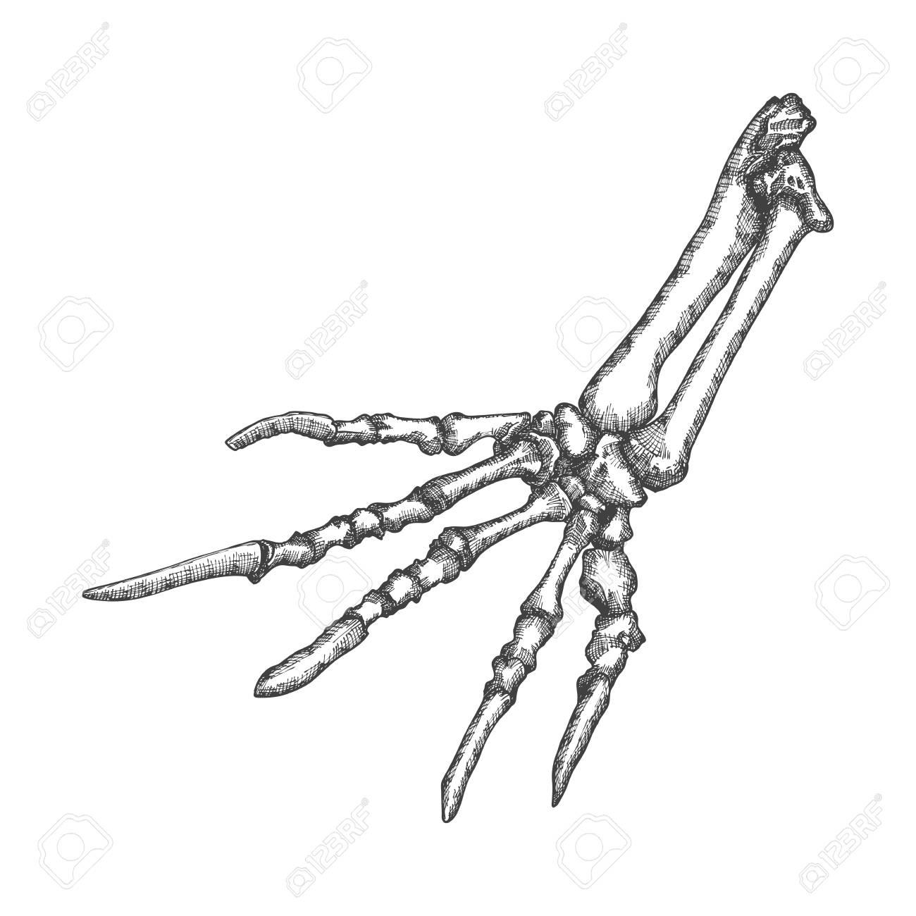 Stylized Drawing Lizard Bones Of The Hand Decorative Drawn Skeleton