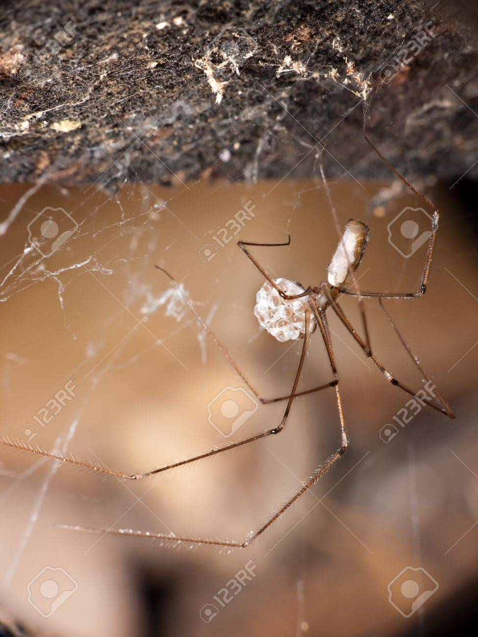 Daddy longlegs spider in web with eggs - macro, Pholcus phalangioides Stock Photo - 9687027
