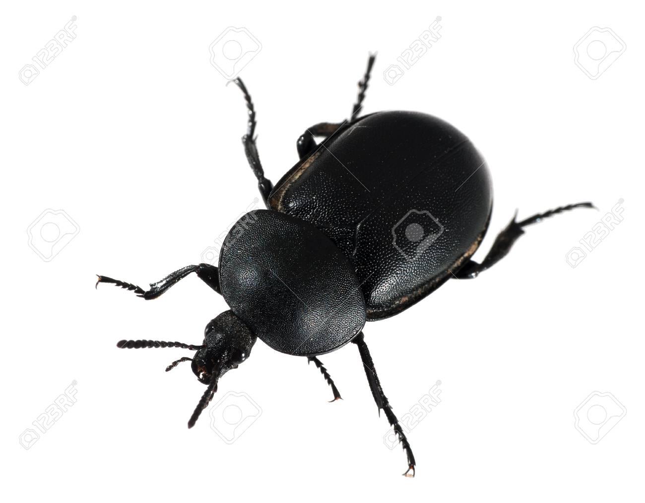 Dung aka dor beetle, isolated Stock Photo - 13699215