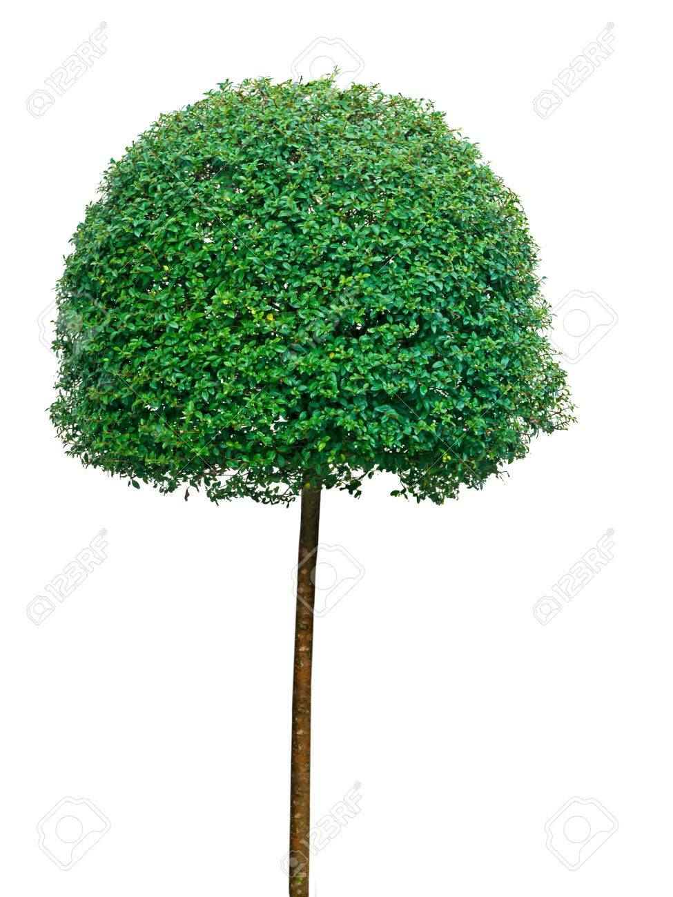 Topiary Tree Isolated On White Evergreen Clipped Into Shape Stock Photo Picture And Royalty Free Image Image 32993708