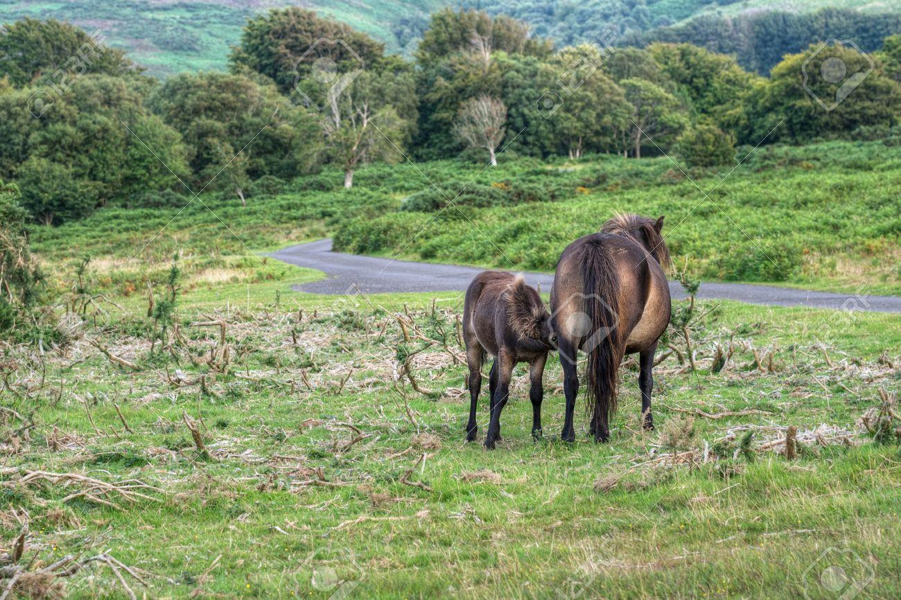 real exmoor ponies foal suckling devon uk stock photo picture