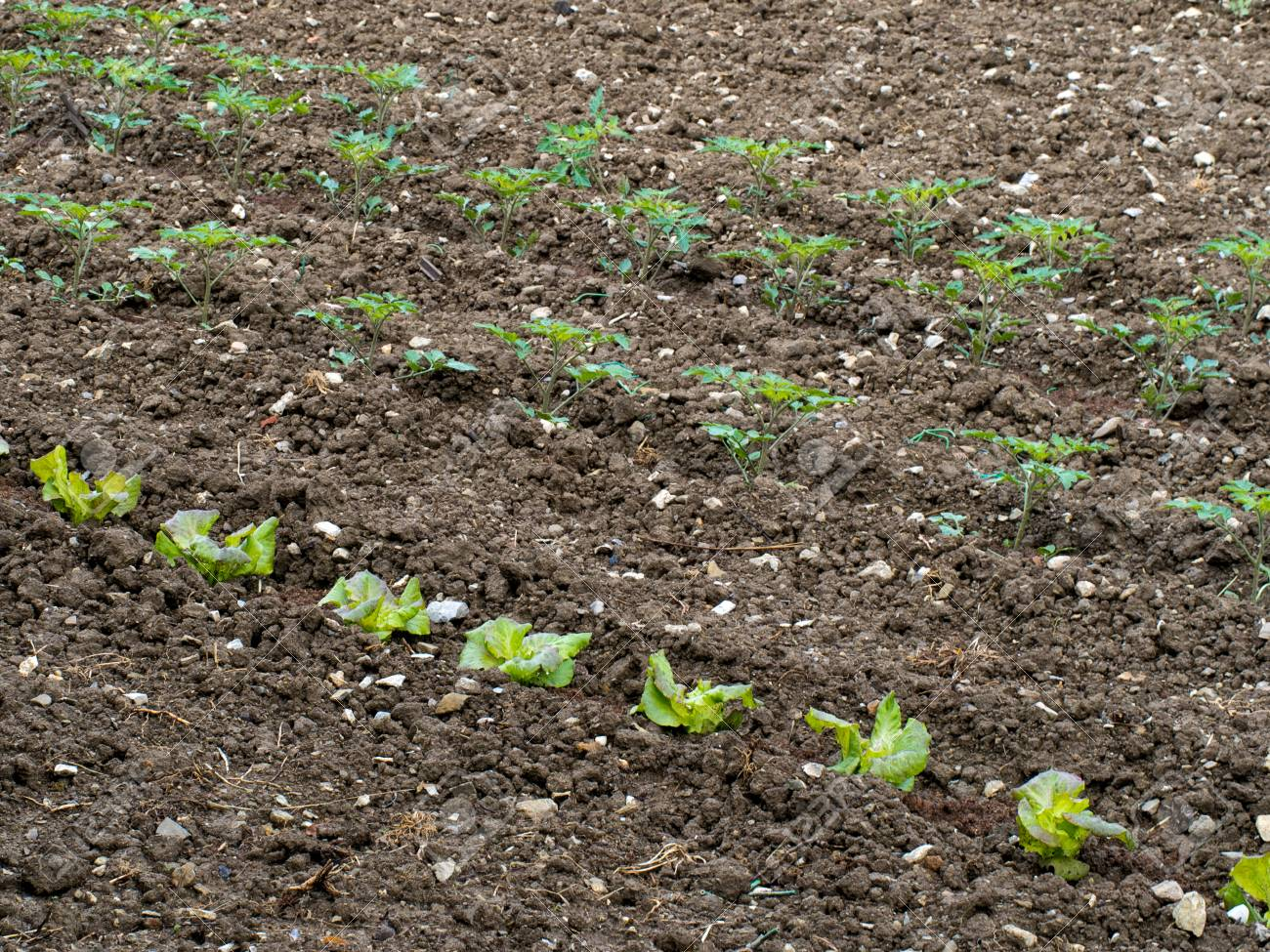 Salad Crops In Vegetable Garden, Spring. Stock Photo, Picture And ...