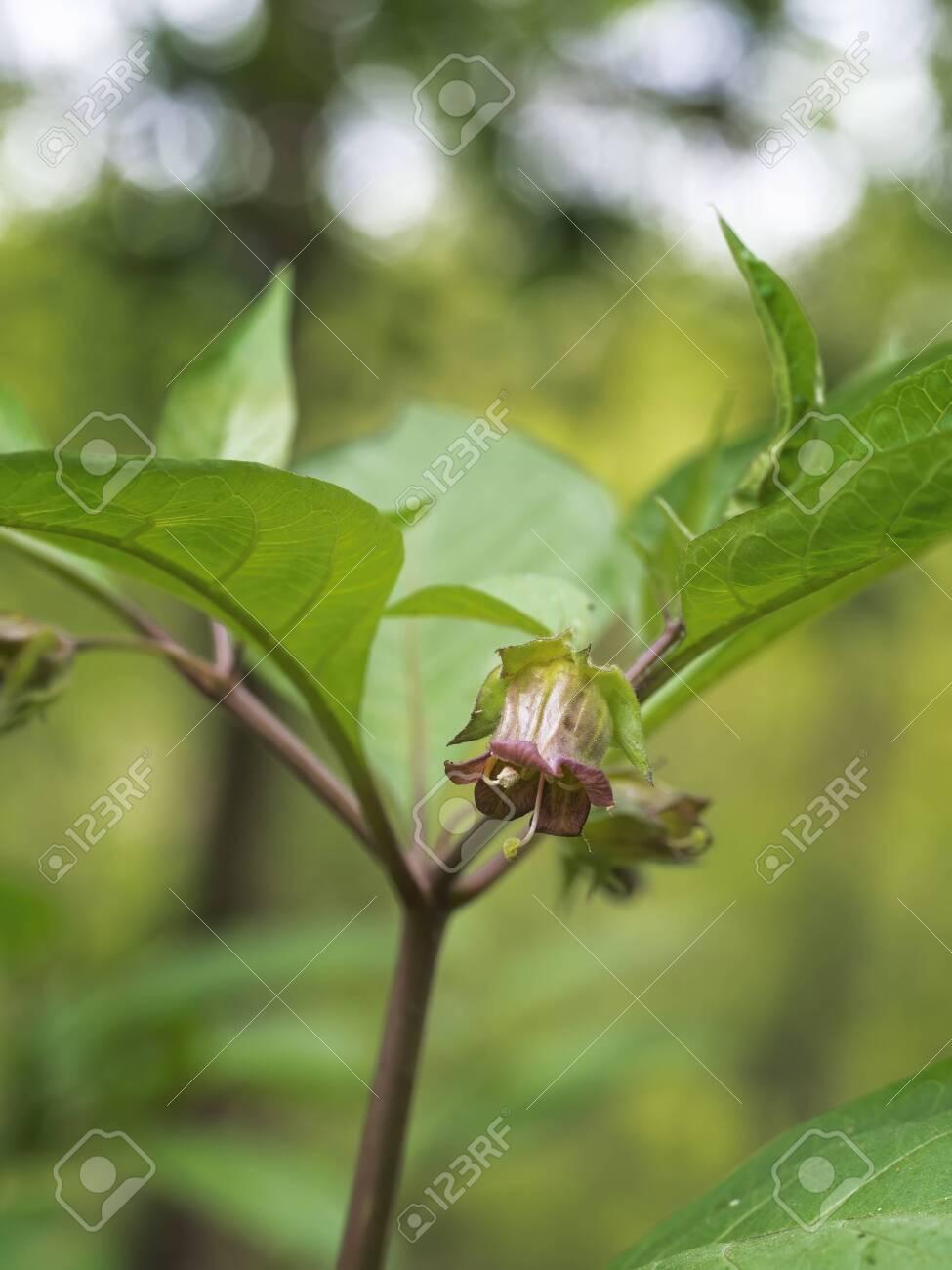 Belladonna Flower Aka Deadly Nightshade Atropa Belladonna Toxic