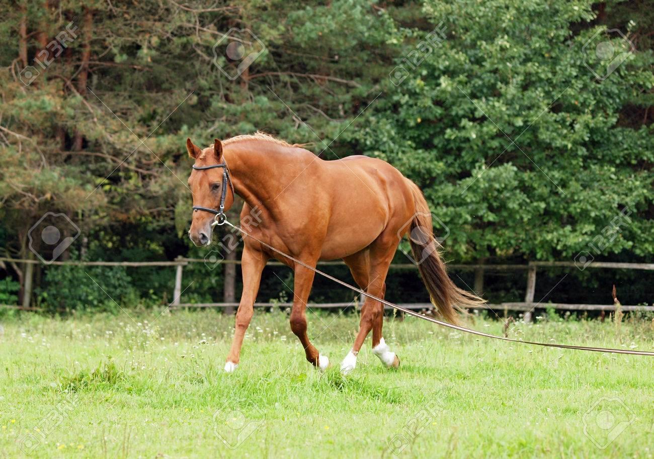 夏の日の調馬索に栗の馬を訓練 ...