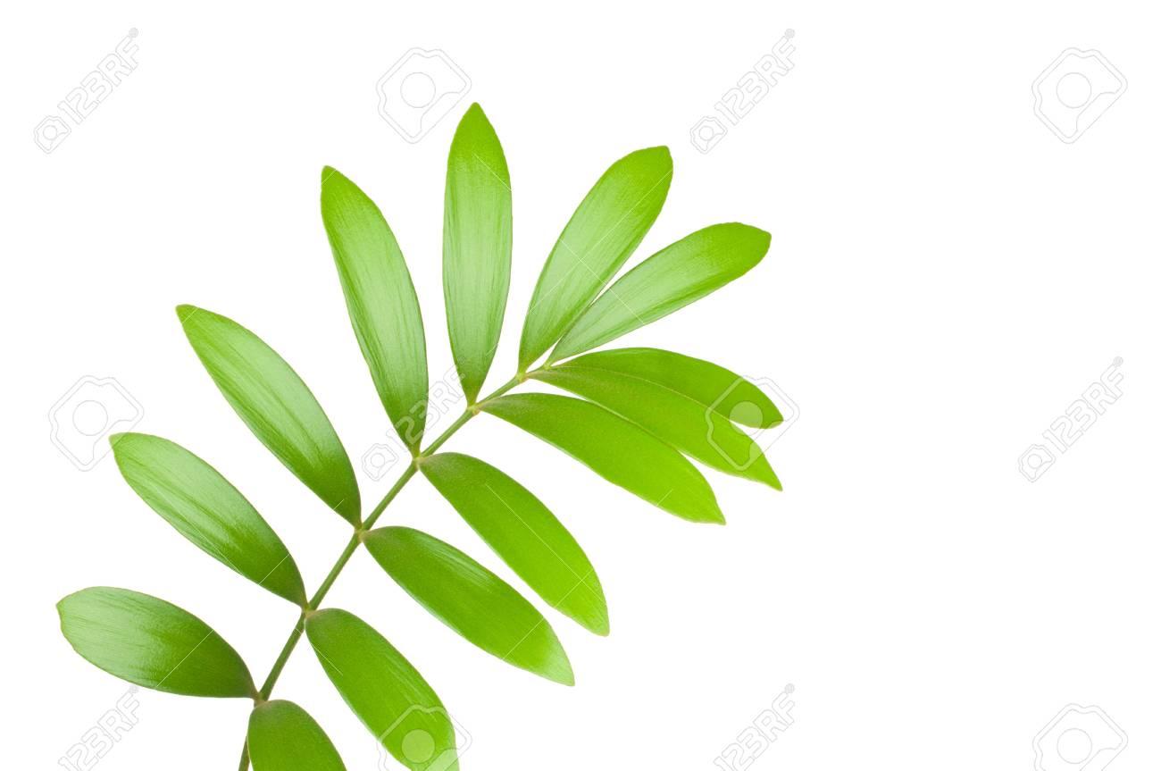 Fresh green leaf isolated on white background Stock Photo - 7796440