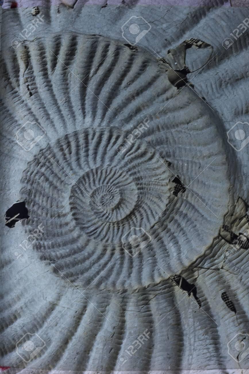 Caracol Fósil Impresión Piedra Textura