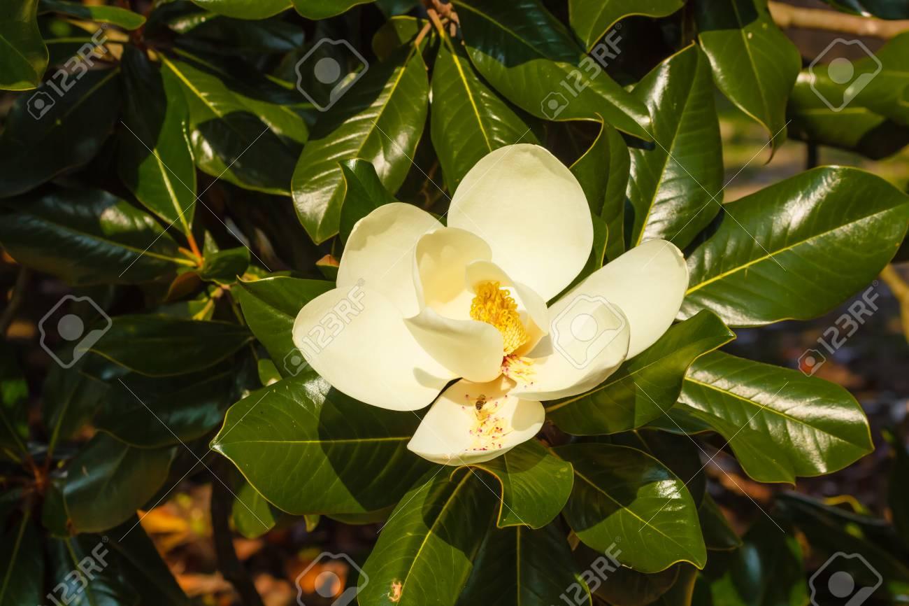 Albero Con Fiori Bianchi la magnolia grandiflora è un albero ornamentale con foglie grandi e lucenti  e fiori bianchi carnosi e profumati