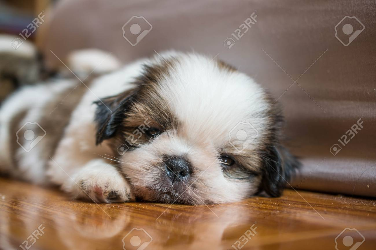 Shih Tzu Puppies Stock Photo Picture And Royalty Free Image Image