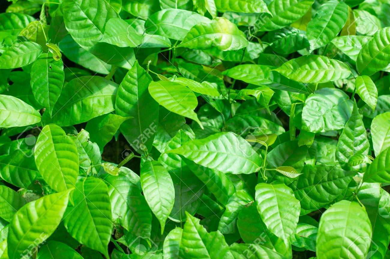 Cocoa tree leaves - 53925452