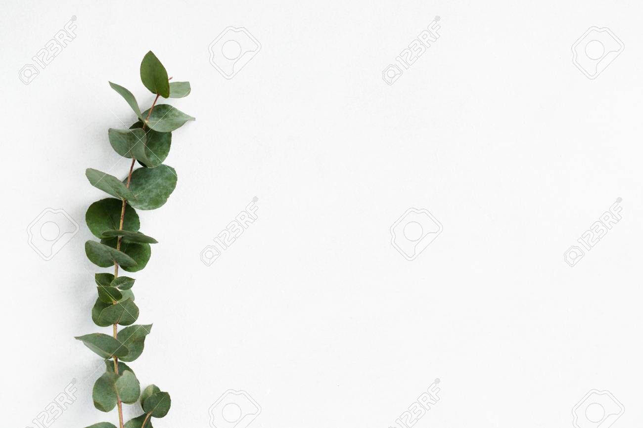 green eucalyptus twig on white background. minimalistic natural decor. free space concept. - 108715446