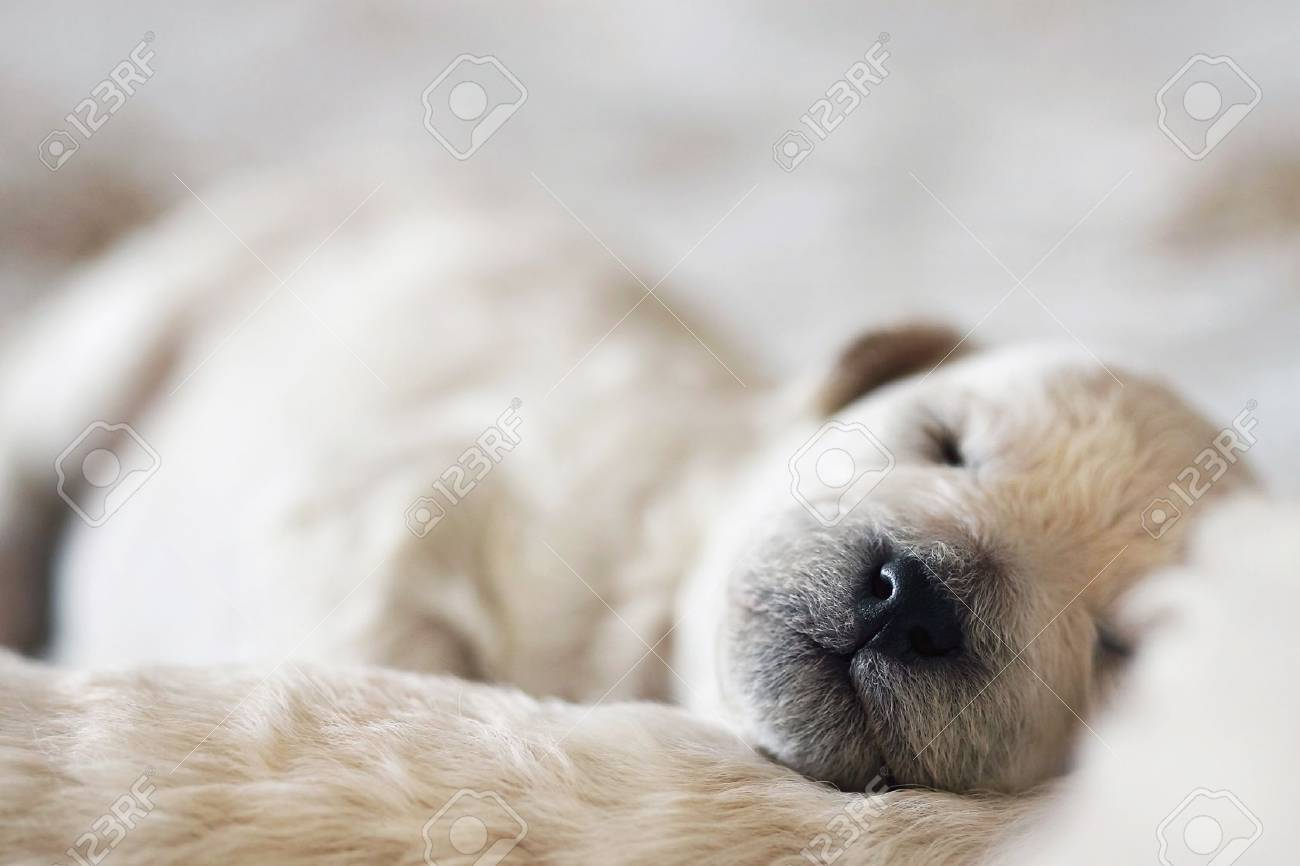 sleeping puppy poodle Stock Photo - 12582512