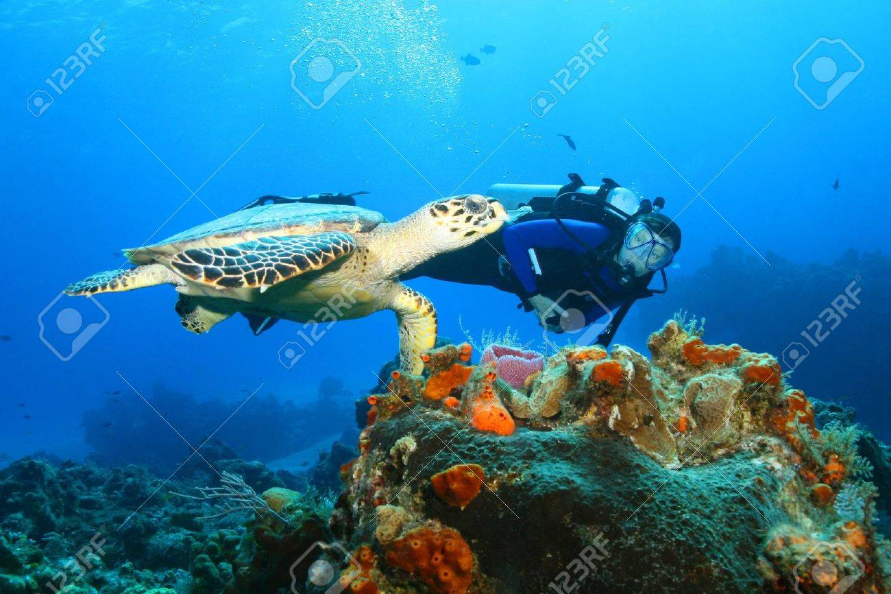 Hawksbill Turtle (Eretmochelys imbricata)and Diver - 8390014