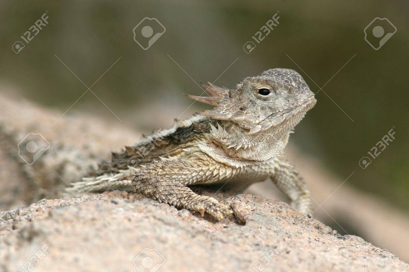 Southern Desert Horned Lizard (Phrynosoma platyrhinos cali… | Flickr
