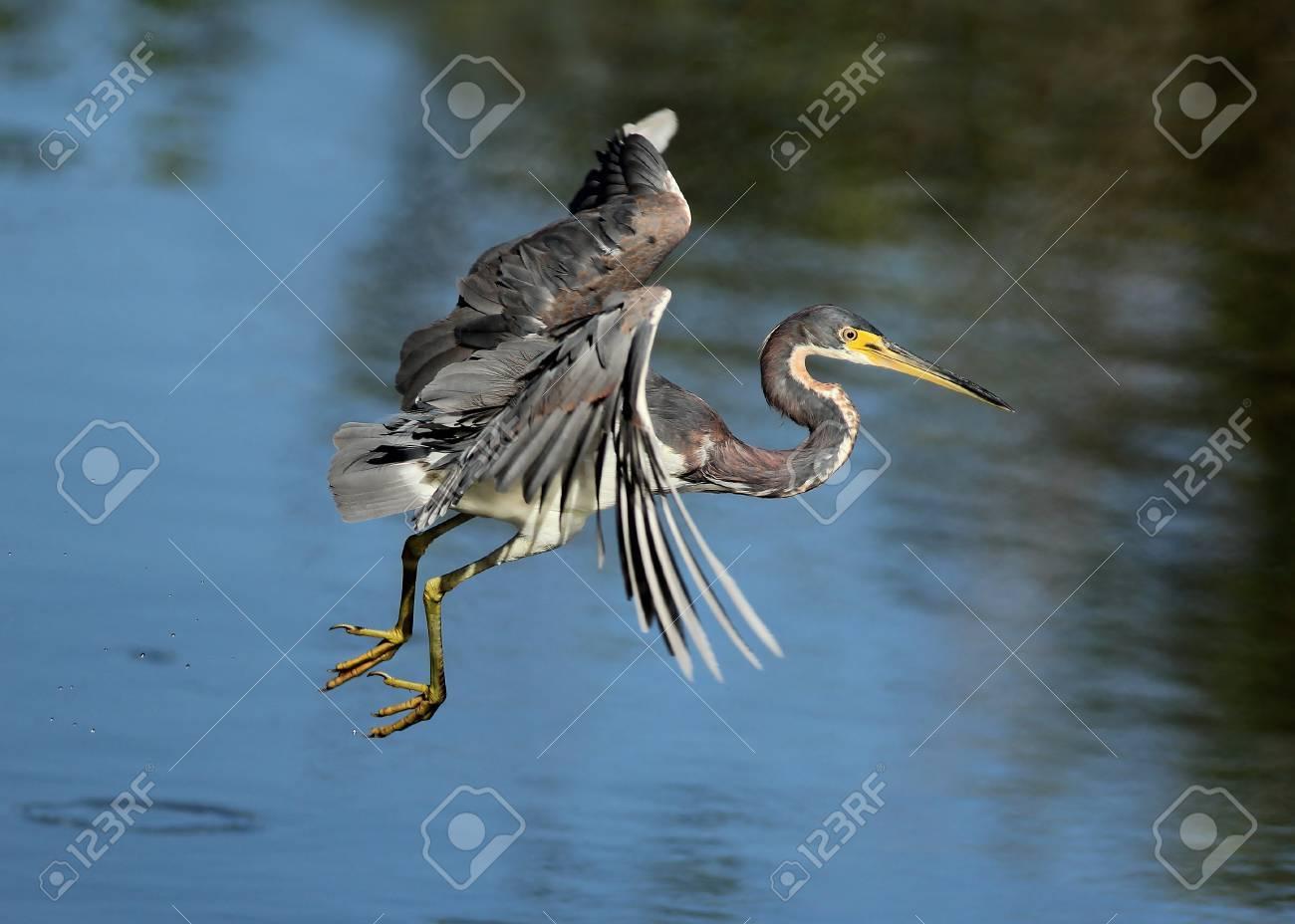 Tricolored Heron  Egretta tricolor  in Flight Stock Photo - 17968753